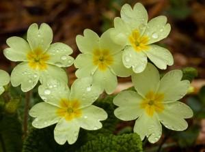 Primroses_c_Edwina_Beaumont-Plantlife_lo-res