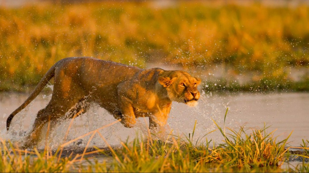 running-lion-cute-hd-wallpapers-best-widescreen-images
